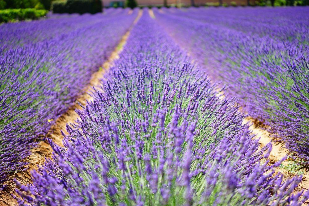 lavender flowers 1595487 1920 e1593423253864 1