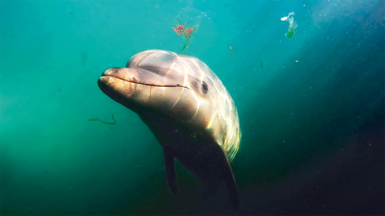 крымский дельфин