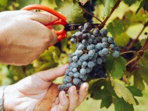 pexels grape things 3840331 22